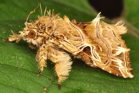 main-qimg-36be8dd067e73593a8be3a02e4c6e831 - The moth that looks like a poodle - Weird and Extreme