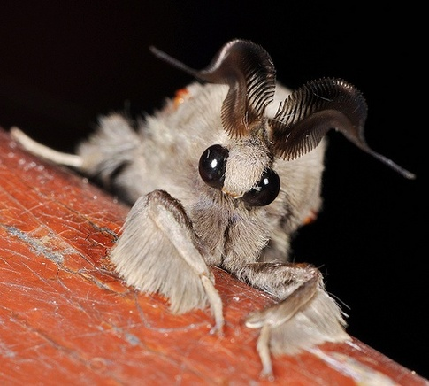 main-qimg-9068588c04546366bba87141610c6f28 - The moth that looks like a poodle - Weird and Extreme